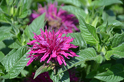 Pardon My Purple Beebalm (Monarda didyma 'Pardon My Purple') at Stauffers Of Kissel Hill