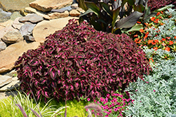 ColorBlaze® Kingswood Torch Coleus (Solenostemon scutellarioides 'Kingswood Torch') at Stauffers Of Kissel Hill