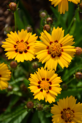 Sunfire Tickseed (Coreopsis grandiflora 'Sunfire') at Stauffers Of Kissel Hill