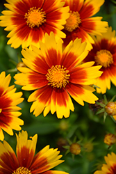 UpTick™ Gold and Bronze Tickseed (Coreopsis 'Baluptgonz') at Stauffers Of Kissel Hill
