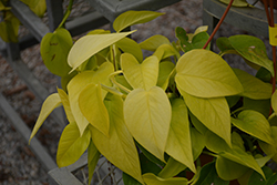 Neon Pothos (Epipremnum aureum 'Neon') at Stauffers Of Kissel Hill