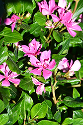Soiree® Kawaii Double Pink Vinca (Catharanthus roseus 'Soiree Kawaii Double Pink') at Stauffers Of Kissel Hill