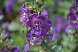 Angelface® Blue Angelonia (Angelonia angustifolia 'Angelface Blue') at Stauffers Of Kissel Hill
