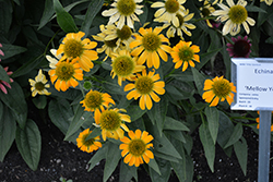 Mellow Yellows Coneflower (Echinacea purpurea 'Mellow Yellows') at Stauffers Of Kissel Hill