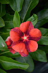 Tattoo™ Tangerine Vinca (Catharanthus roseus 'PAS1192835') at Stauffers Of Kissel Hill