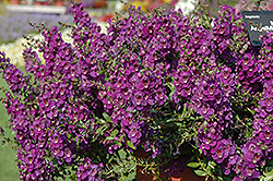 AngelMist® Spreading Dark Purple Angelonia (Angelonia angustifolia 'AngelMist Spreading Dark Purple') at Stauffers Of Kissel Hill