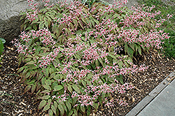 Pink Champagne Fairy Wings (Epimedium 'Pink Champagne') at Stauffers Of Kissel Hill