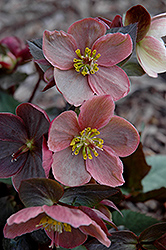 Pink Frost Hellebore (Helleborus 'COSEH 710') at Stauffers Of Kissel Hill