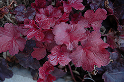 Galaxy Coral Bells (Heuchera 'Galaxy') at Stauffers Of Kissel Hill