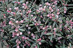 Blue Ice Bog Rosemary (Andromeda polifolia 'Blue Ice') at Stauffers Of Kissel Hill