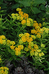 Hello Yellow Milkweed (Asclepias tuberosa 'Hello Yellow') at Stauffers Of Kissel Hill