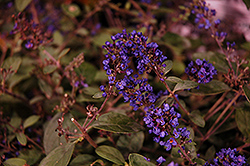 Lo And Behold® Blue Chip Junior Dwarf Butterfly Bush (Buddleia 'Lo And Behold Blue Chip Junior') at Stauffers Of Kissel Hill