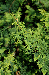 Fernspray Hinoki Falsecypress (Chamaecyparis obtusa 'Filicoides') at Stauffers Of Kissel Hill