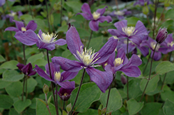 Arabella Clematis (Clematis 'Arabella') at Stauffers Of Kissel Hill