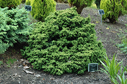 Tansu Dwarf Japanese Cedar (Cryptomeria japonica 'Tansu') at Stauffers Of Kissel Hill
