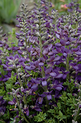 Decadence® Blueberry Sundae False Indigo (Baptisia 'Blueberry Sundae') at Stauffers Of Kissel Hill