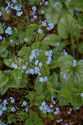 Alexander's Great Bugloss (Brunnera macrophylla 'Alexander's Great') at Stauffers Of Kissel Hill