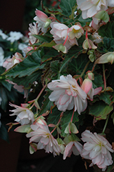 Miss Montreal Begonia (Begonia 'Miss Montreal') at Stauffers Of Kissel Hill