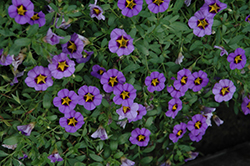 Superbells® Evening Star Calibrachoa (Calibrachoa 'Superbells Evening Star') at Stauffers Of Kissel Hill