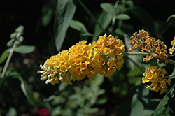 Honeycomb Butterfly Bush (Buddleia x weyeriana 'Honeycomb') at Stauffers Of Kissel Hill