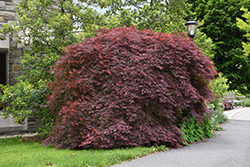 Tamukeyama Japanese Maple (Acer palmatum 'Tamukeyama') at Stauffers Of Kissel Hill