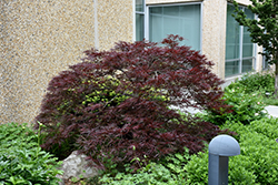 Red Dragon Japanese Maple (Acer palmatum 'Red Dragon') at Stauffers Of Kissel Hill