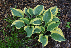 Liberty Hosta (Hosta 'Liberty') at Stauffers Of Kissel Hill