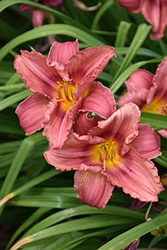 Happy Ever Appster® Rosy Returns Daylily (Hemerocallis 'Rosy Returns') at Stauffers Of Kissel Hill