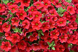 Superbells® Red Calibrachoa (Calibrachoa 'Superbells Red') at Stauffers Of Kissel Hill