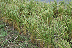 Asian Rice (Oryza sativa) at Stauffers Of Kissel Hill