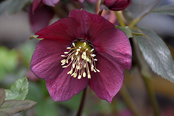 Winter Jewels Ruby Wine Hellebore (Helleborus 'Ruby Wine') at Stauffers Of Kissel Hill