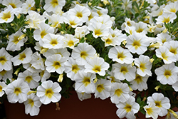 Superbells® Over Easy™ Calibrachoa (Calibrachoa 'KLECA16314') at Stauffers Of Kissel Hill
