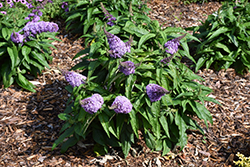 Pugster® Lavender Butterfly Bush (Buddleia 'Pugster Lavender') at Stauffers Of Kissel Hill