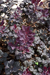 Winecraft Black® Smokebush (Cotinus coggygria 'NCCO1') at Stauffers Of Kissel Hill
