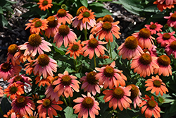 Sombrero® Hot Coral Coneflower (Echinacea 'Balsomcor') at Stauffers Of Kissel Hill