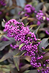 Pearl Glam® Beautyberry (Callicarpa 'NCCX2') at Stauffers Of Kissel Hill