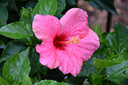 Cayman Wind Hibiscus (Hibiscus rosa-sinensis 'Cayman Wind') at Stauffers Of Kissel Hill