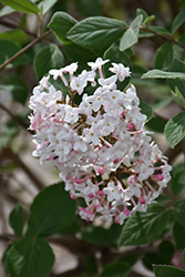Judd's Viburnum (Viburnum x juddii) at Stauffers Of Kissel Hill