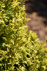 Soft Serve® Gold Falsecypress (Chamaecyparis pisifera 'FARROWCGMS') at Stauffers Of Kissel Hill