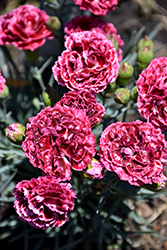 Fruit Punch® Cherry Vanilla Pinks (Dianthus 'Cherry Vanilla') at Stauffers Of Kissel Hill