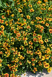 Salud™ Embers Sneezeweed (Helenium autumnale 'Balsaluemb') at Stauffers Of Kissel Hill