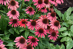 Lakota™ Fire Coneflower (Echinacea 'Lakota Fire') at Stauffers Of Kissel Hill