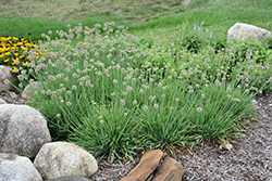 Medusa Ornamental Onion (Allium 'Medusa') at Stauffers Of Kissel Hill