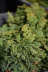 Hage Hinoki Falsecypress (Chamaecyparis obtusa 'Hage') at Stauffers Of Kissel Hill